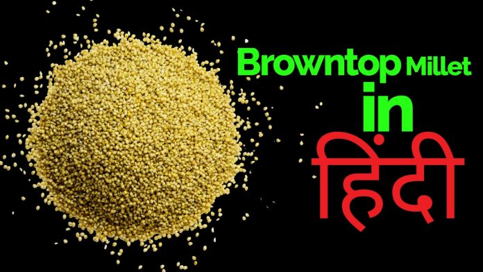 browntop millet in hindi