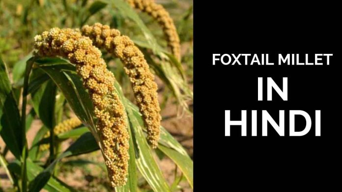 FOXTAIL MILLET IN HINDI
